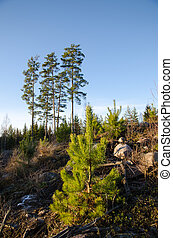 Pine tree plant - Growing pine tree plant in a clearcut...