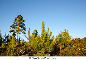 Pine tree plants - Regeneration of a pine tree forest with...