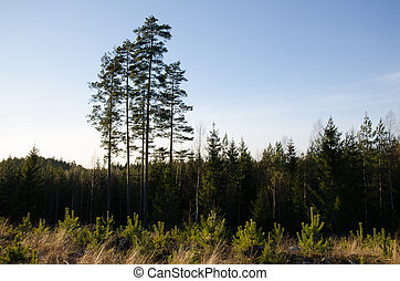 Forest with pine tree plants - Clearcut forest area with...