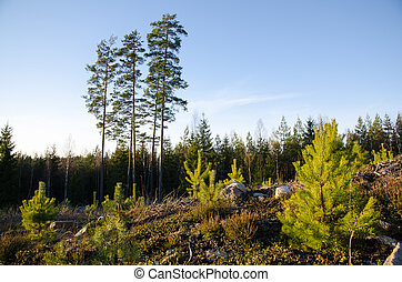 Forest regeneration with pine tree plants at a clearcut area...