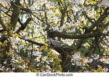 Pigeon on bloomming tree - Wild Pigeon on bloomming apple...