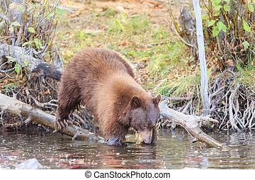 Bear, Lake Tahoe - Photos Taken in Lake Tahoe Area