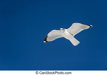 Ring-billed Gull in flight - Ring-billed Gull stands out...