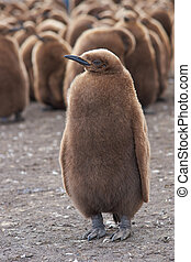 King Penguin Chick - Young King Penguin Aptenodytes...
