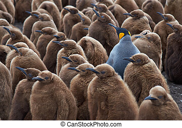 King Penguin Creche - Adult King Penguin Aptenodytes...