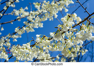 The taiwan endemic flower - Prunus campanulata Maxim at...