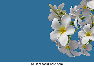 (With clipping path) Isolated beautiful sweet white plumeria
