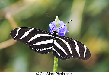 Zebra longwing butterfly (Heliconius charitonia) perching on...