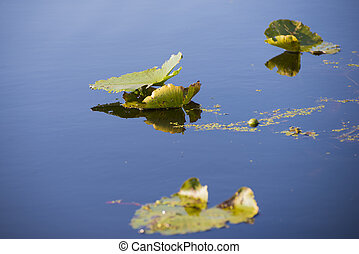 Detail of lillypads reflected on water, Point Pelee national...