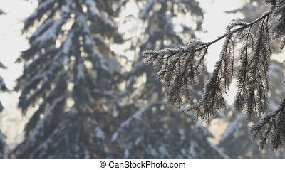 Winter day landscape - Spruce branches at frosty day in...