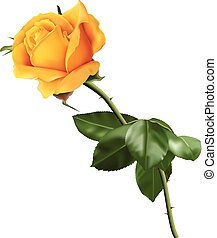 Yellow rose - Beautiful yellow rose isolated on the white...
