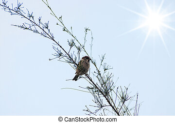 Eurasian Tree Sparrow on the branch with sun