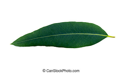 Eucalyptus leaves on a white background.