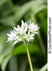Flowering wild garlic leek Allium ursine in the forest...
