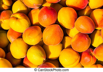 Ripe apricots during the harvest - The long ripe apricot has...