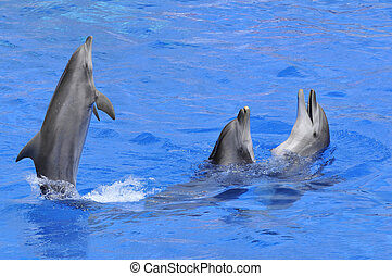 three dolphins in water - Three bottlenose dolphins Tursiops...