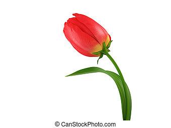 tulipán, elszigetelt, HQ, render