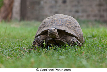 Most African tortoise in the streets of Addis Ababa