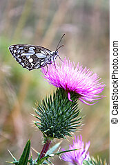 Butterfly and Milk Thistle - On milk thistle flower black...