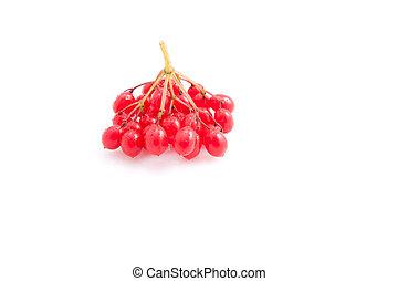 Viburnum - Berries of red viburnum isolated on white...