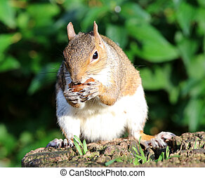 Close up of a Grey Squirrel eating chestnuts on a tree stump