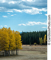 Small Grove of Aspen Trees in Field - A grove of aspen trees...