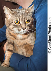 domestic tabby cat and man - man holding home gray tabby cat...