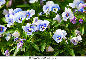 garden pansy pansies, Viola, Viola tricolor is a type of...