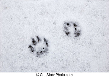 Dog footprint on snow - Few traces of the dog on the thin...