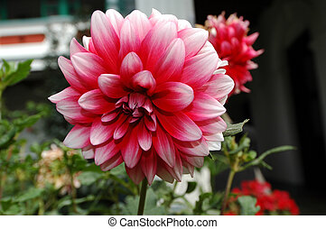 Dahlias - Blooming colourfully here in an hotel garden in...