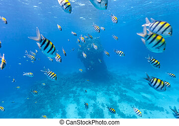 Shoal of tropical fish in Red Sea, Egypt