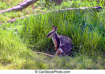Yellow-Footed, Rock-Wallaby, -, Petrogale, xanthopus