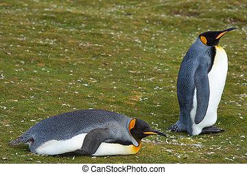 國王, 企鵝, 休息