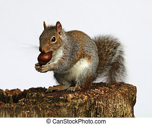 Grey Squirrel - Close up of a Grey Squirrel eating chestnuts...