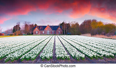 Colorful spring scene in Netherlands. First sunlight glowing...