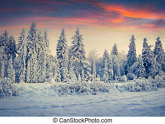 Colorful winter sunrise in the Carpathian mountain forest.