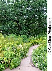 Burr Oak and Garden Walkway - front yard landscape with...