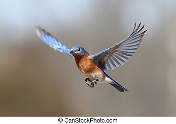 Bluebird In Flight - Male Eastern Bluebird (Sialia sialis)...