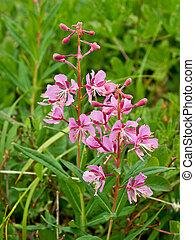 Fireweed - Wild fireweed flowers