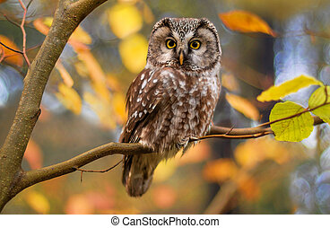 boreal owl?in autumn leaves