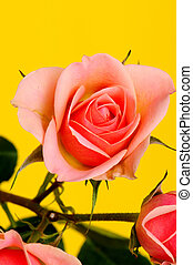 Peach Rose Macro - Peach Rose Floral arrangement isolated...