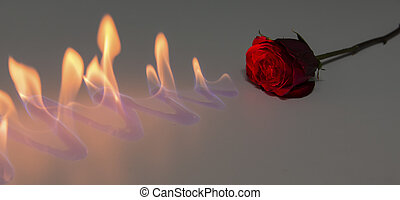 Red rose with fire on shiny surface in studio - Red rose...