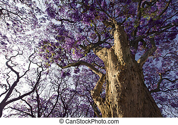 Jacaranda tree trunk with small flowers and sky - Jacaranda...