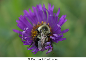 Bumblebee and New England Aster