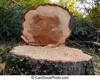 Felled European Spruce Tree - Cross section of the trunk of...
