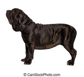 Dog on white background - mastino neapolitano isolated on...