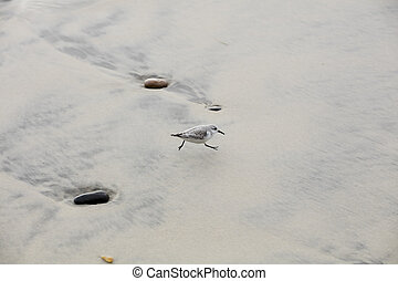 Western Sandpiper running around in the sand at Swamis Beach...