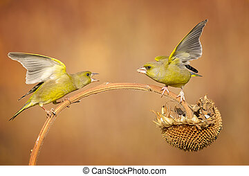 greenfinch fighting - two greenfinch fighting for food on a...