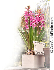 romantic hyacinths in blooming - romantic hyacinths in a...