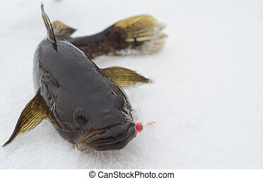 Small fish - Fish caught from under ice in the beginning of...